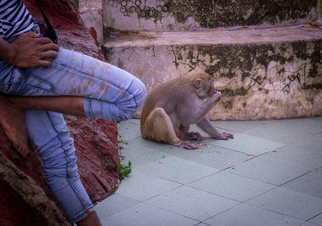 Monkey on Mount Popa