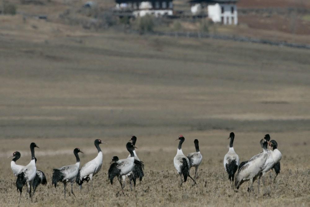 Group of Blackneck Crane