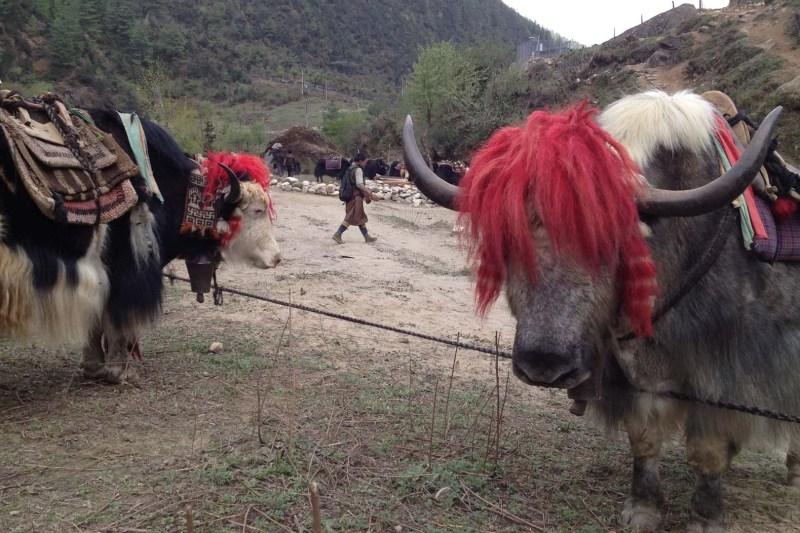 Laya Gasa Bhutan Trek