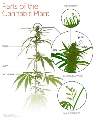 Cannabis Anatomy 101: Know the Parts of the Plant