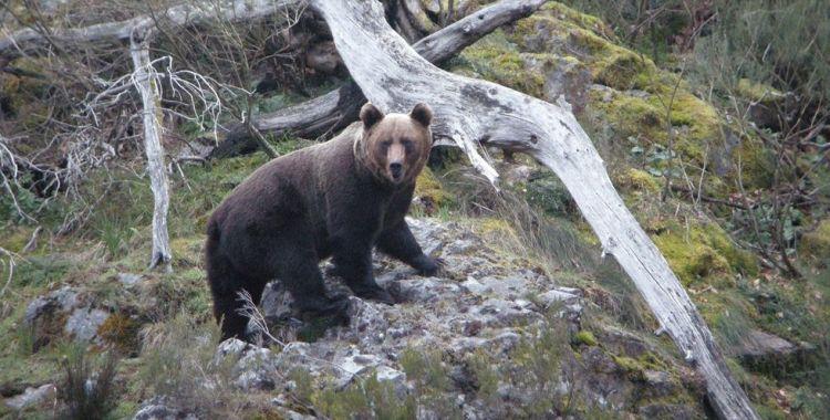 Observación de fauna en Os Ancares: oso.