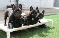 Dreamland French Bulldogs.JPG
