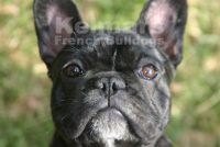 Kelmars French Bulldogs.jpg