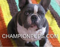 CHAMPION PUPS.JPG