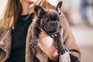 Caring for French Bulldogs