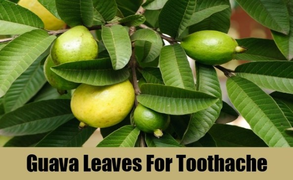 Guava Leaves For Toothaches