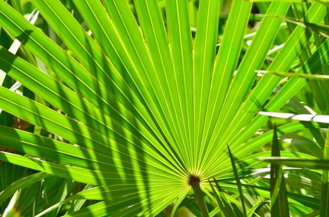 Saw Palmetto for Polycystic Ovaries Syndrome (PCOS)