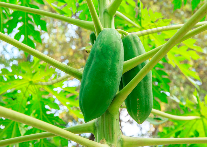 Raw Papaya for Irregular Menstrual Period