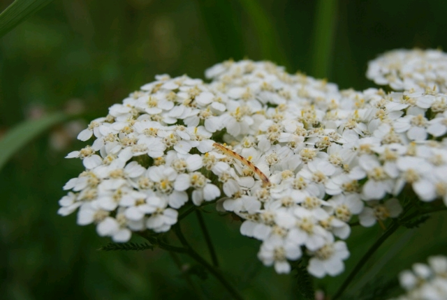 Stop Bleeding With Yarrow
