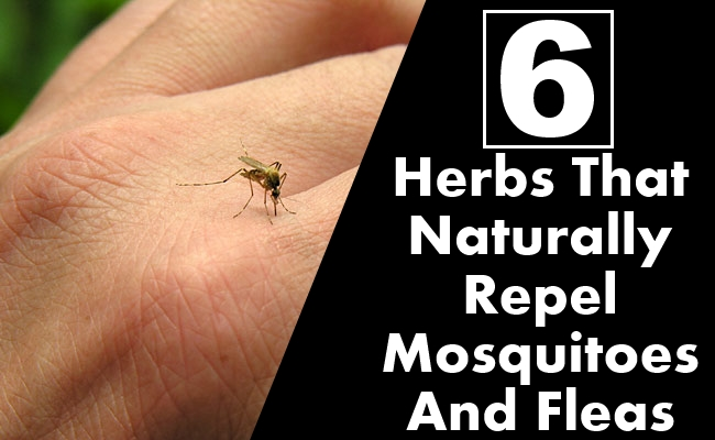 Herbs That Naturally Repel Mosquitoes And Fleas