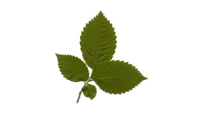 Elm Leaf Tree
