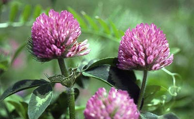 Health Benefits Of Red Clover