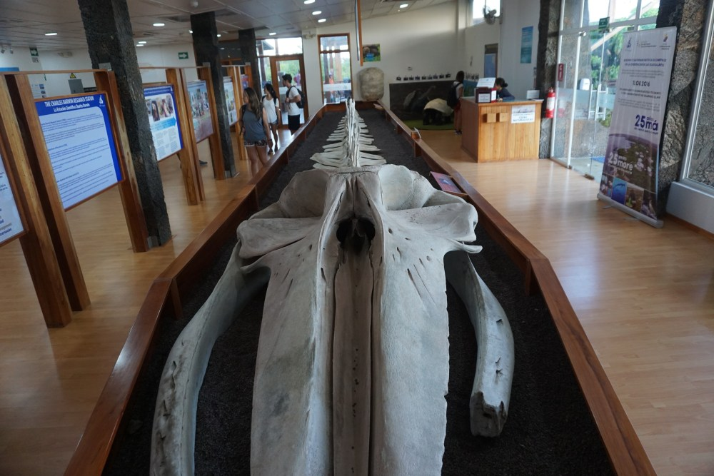 A whale skeleton at the Charles Darwin Center