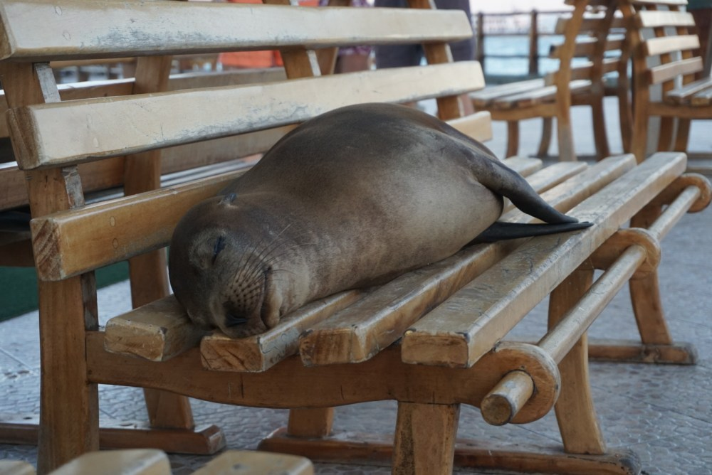 Seals sleeping on public benches.
