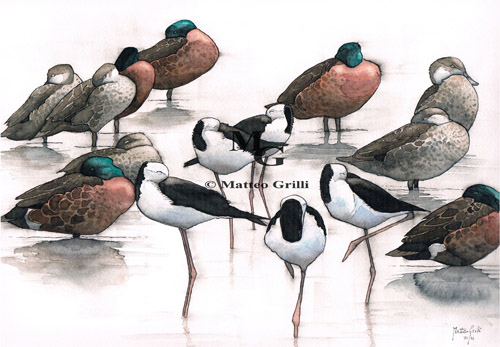 teal ducks and stilt shorebirds