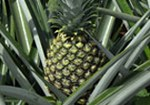 LInk to pineapple product page