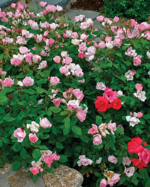 Knock Out® series roses (Rosa Knock Out®)