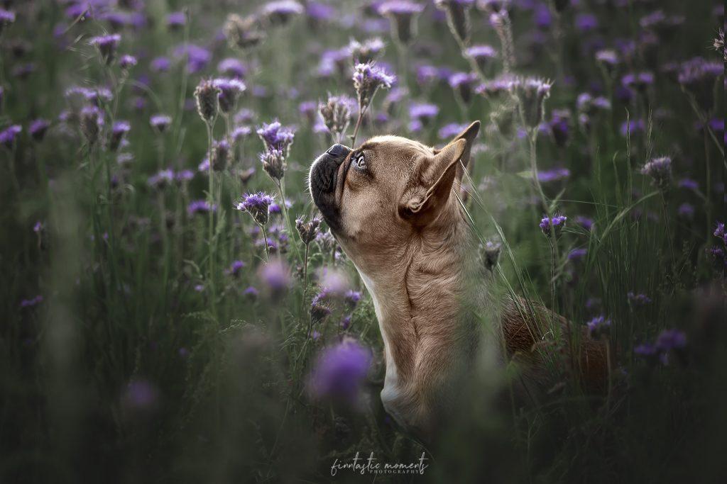 Rasse Französische Bulldogge im lila Blumenfeld