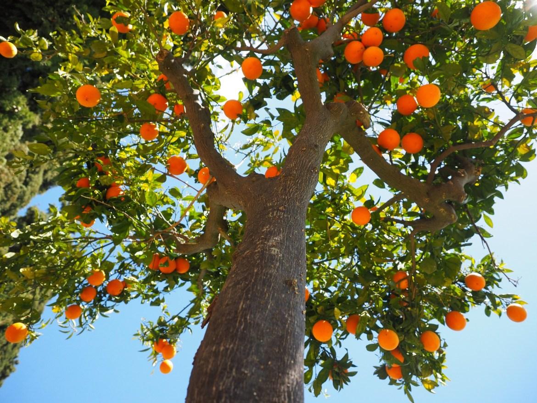 narancsfa-finomat-maskepp
