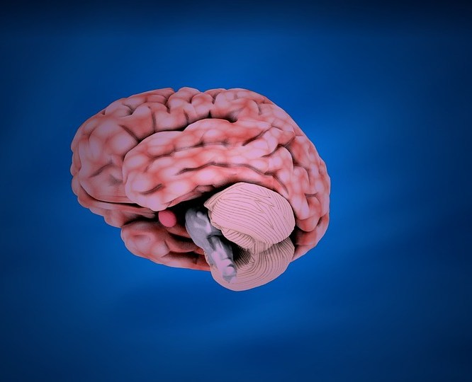 figure of human brain