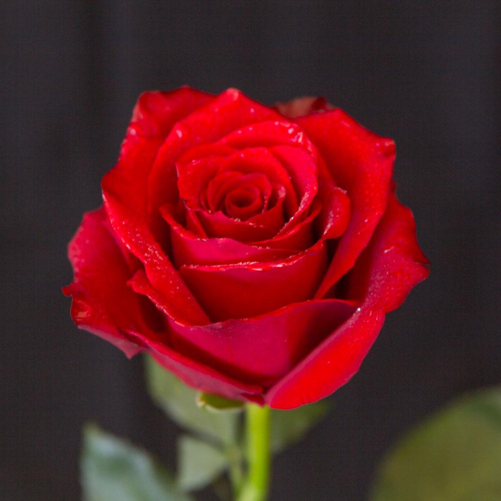 Red Rose Variable Quantity Shop Fior Da Lisa