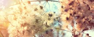 bachbluete-No-09-clematis-gewoehnliche-waldrebe