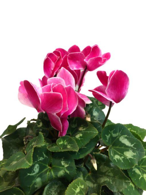 ingrandimento del fiore di ciclamino rosa screziato