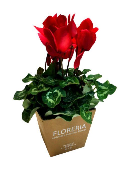 ciclamino rosso in vaso, idea regalo
