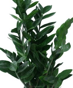 zoom di una pianta di Zamioculcas