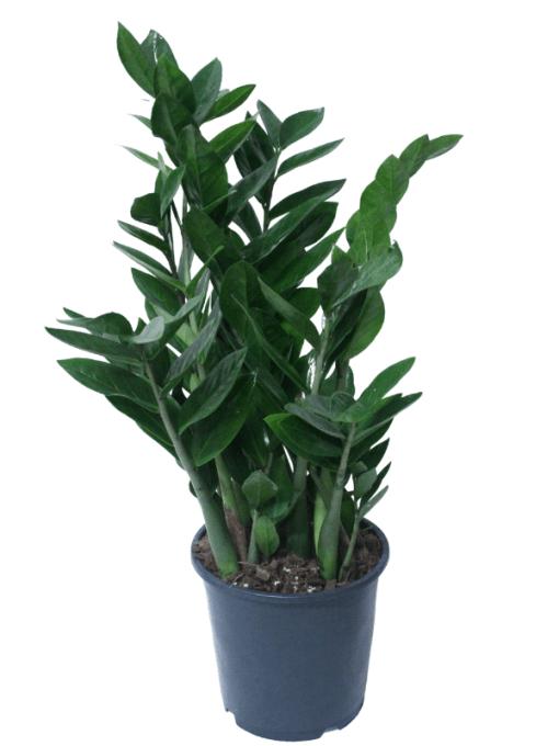 pianta di zamioculcas in vaso