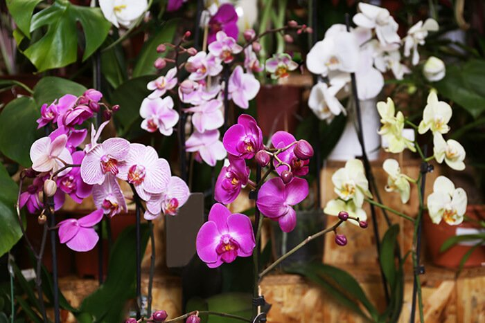vasi di orchidee colorate