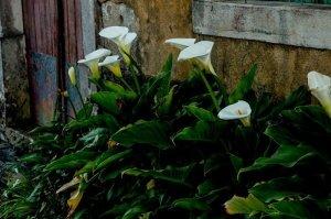 Piante, come coltivare la calla in giardino