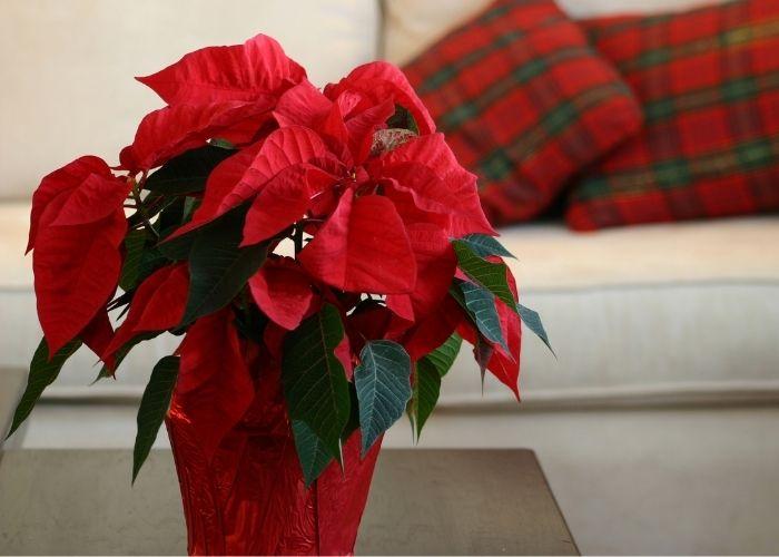 Euphorbia pulcherrima collocata in casa al caldo, perchè non va assolutamente esposta a temperature inferiori a 15° centigradi