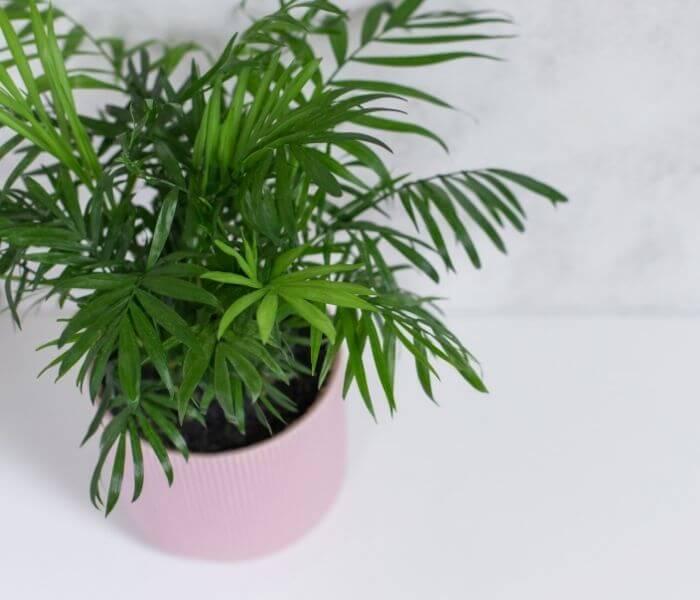 La Chamadorea si reperisce in commercio in vasi molto piccoli
