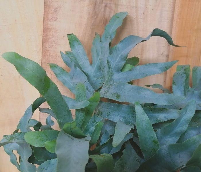 Il colore delle foglie varia tra il verde e l'azzurro