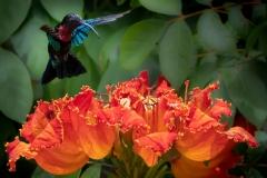 'Hover Mode'  Purple-throated carib Hummingbird feeding from the impressive flower of an African Tuliptree.