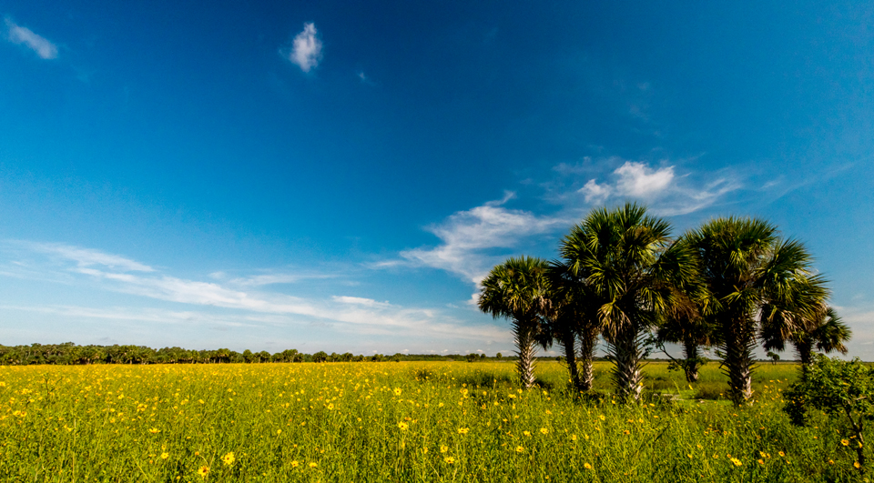 Lake Jesup Sunflower Field Bloom Update: Sept. 27, 2016