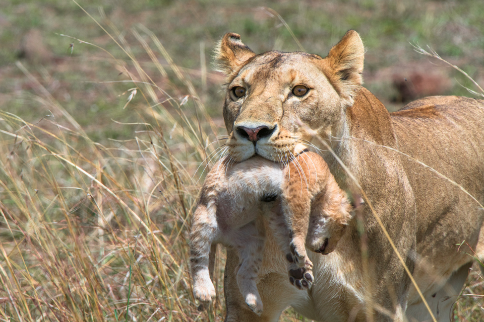 The Good Mother:  A Lioness and her Cub