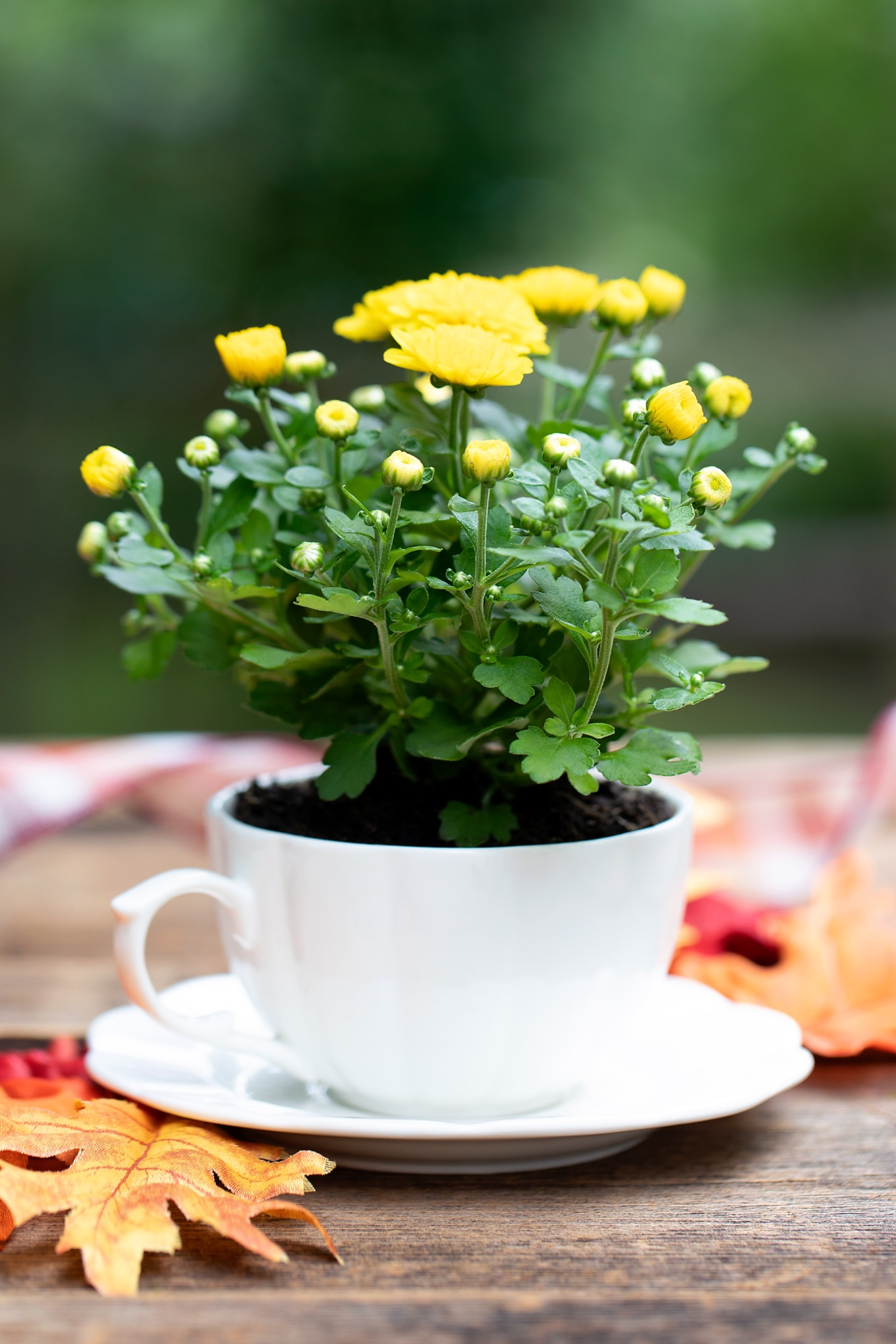 Yellow Mum in a White Teacup for Fall Teacup Garden