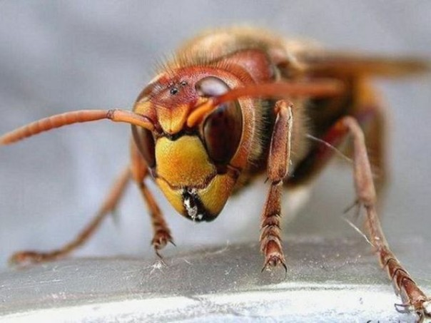 Un calabrone simile a quello che ha punto il giardiniere 37enne fiorentino