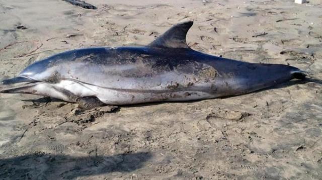Delfino morto spiaggiato sulle coste tirreniche