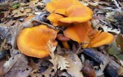 Undici intossicati da funghi in due giorni in Maremma