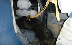 Trasportavano oltre 11 chili di marijuana, scoperti dal cane antidroga
