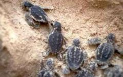 Grosseto: la tartaruga caretta caretta ha fatto il nido in Toscana. La corsa al mare dalla spiaggia della Giannella
