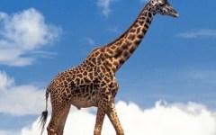 Ora le giraffe invadono Internet