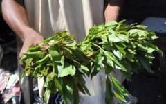 Foglie di khat, potente droga