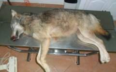 Grosseto, lupo ucciso e lasciato in mostra sulla piazza di Semproniano