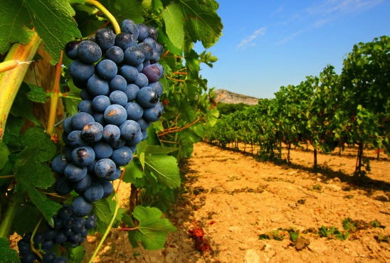 Vigneti toscani Uva
