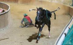 Pistoia, morti due cavalli dopo la Giostra dell'Orso. Infuria la polemica. La rievocazione storica rischia la cancellazione