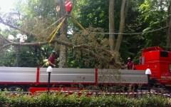 Firenze, pesava una tonnellata il ramo killer delle Cascine. Oggi la rimozione (FOTO)